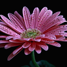 Gerbera with rain drops by Pieter J de Villiers - Flowers Single Flower