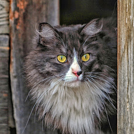 Peeking out the Cabin Door by Twin Wranglers Baker - Animals - Cats Portraits