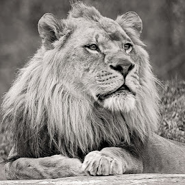Lion by Tony Bendele - Animals Lions, Tigers & Big Cats ( cats, lion, cat, animals, zoo, wildlife, lions, animal )