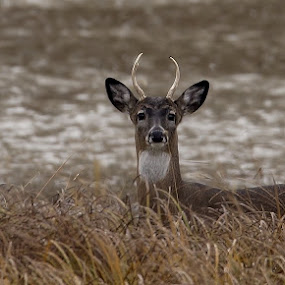 Young Buck by Ann Overhulse - Animals Other