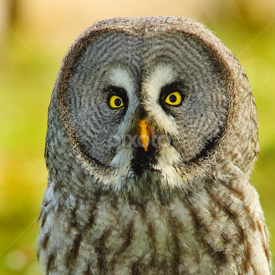 Owl angry by Gérard CHATENET - Animals Birds (  )