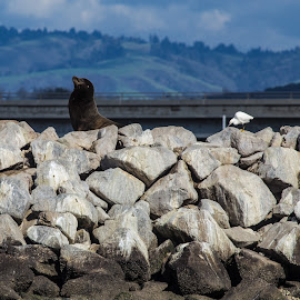 Seal Rock by George Nichols - Animals Sea Creatures