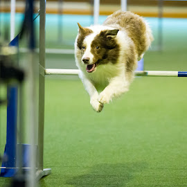 by Peter Grutter - Animals - Dogs Running ( dogs, lengnau, agility )