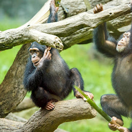 Young Chimps Playing by Carol Plummer - Animals Other Mammals