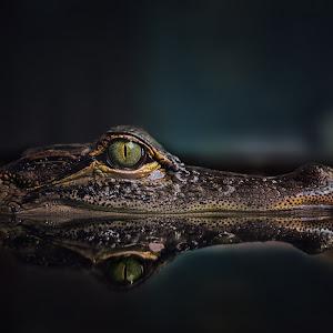 Nilkrokodil - Crocodylus niloticus - Krokodil (55).jpg