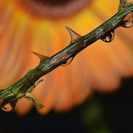 waterdrops with gerber by LADOCKi Elvira - Nature Up Close Natural Waterdrops