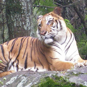 Tiger at Taman Safari by Wayne Duplessis - Animals Lions, Tigers & Big Cats ( tiger, indonesia, safari, java, stripes, taman )