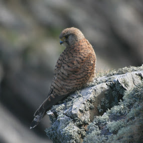 Kestrel on a cliff by Rich Malone - Animals Birds ( bird, bird of prey, falcon, kestrel, hawk )