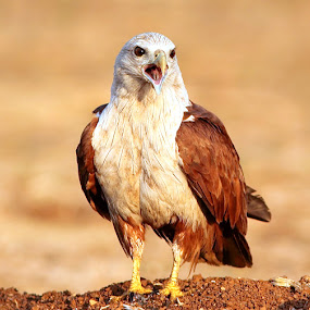 Ha Ha Ha  by Prasanna Bhat - Animals Birds ( red sea eagle, prey, birds, brahminy kite )