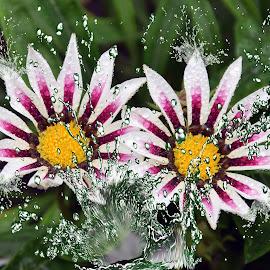 two gazanias by LADOCKi Elvira - Digital Art Things ( nature, flowers, garden )