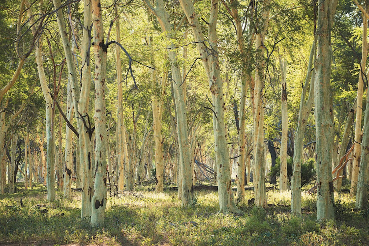 The dramatic fever tree forest near Return Africa's Pafuri Camp