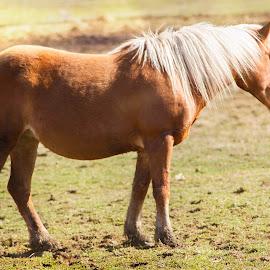 White Mane by Sandra Hilton Wagner - Animals Horses ( pasture, mane, sunny, horse, white, brown, animal )