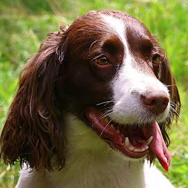 Bonny Tess by Chrissie Barrow - Animals - Dogs Portraits ( tongue, ear, springer spaniel, female, pet, white, fur, brown, dog, nose, portrait, eye )