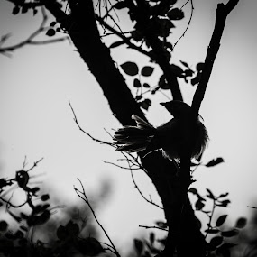 The darkness within. by Maha Khan - Animals Birds ( bird, animals, islamabad, nature, silhouette, evening )