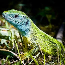 by Eduard Andrica - Animals Reptiles