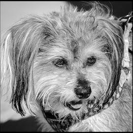 Dog by Dave Lipchen - Black & White Animals ( dog )