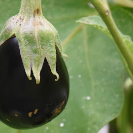Eggplant on the Vine  by Lorraine D.  Heaney - Food & Drink Fruits & Vegetables