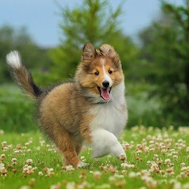 by Jane Bjerkli - Animals - Dogs Portraits ( expression, playing, happy, pet, shetland sheepdog, summer, cute, dog, running, sheltie, portrait, animal )
