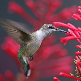 More Hummingbirds! by Anthony Goldman - Animals Birds ( bird, flight, wild, florida., red, nature, colors, hummingbird, tampa, wildlife, motion, ruby-throated, black,  )