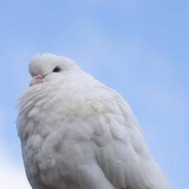 Pigeon in Beamish by Adam Lang - Animals Birds ( bird, pigeon, sky, beamish, white )