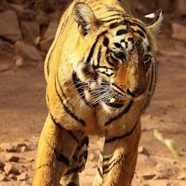by Mukesh Chand Garg - Animals Lions, Tigers & Big Cats