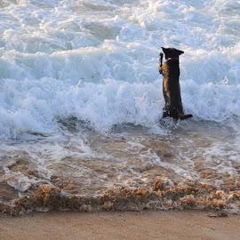 Wavejumper by DJ Cockburn - Animals - Dogs Playing ( fistral bay, surf, england, coastline, britain, cornwall, recreation, shore, fistral beach, summer, sea, wave, running, coast, newquay, ocean, seaside, uk, atlantic ocean, dog, pet )