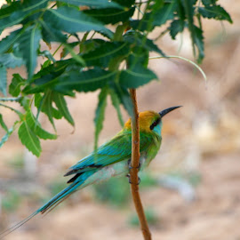 Wild birdy by Lakshan Senevirathna - Novices Only Wildlife ( bird, robin, wildlife )