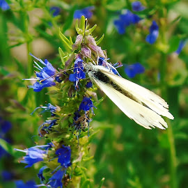 WHITE ON BLUE by Wojtylak Maria - Nature Up Close Hives & Nests ( plant, wild, butterfly, blue, meadow, white )