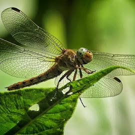maksimirski vretenac by Dunja Kolar - Animals Insects & Spiders ( croatia, maksimirski vretenac, zagreb )