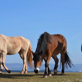 horses by Standásek Hrubý - Animals Horses ( pasture, nature )