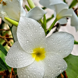 White Hawaiin flowers by Jeffrey Lee - Flowers Flower Gardens ( white hawaiin flowers )