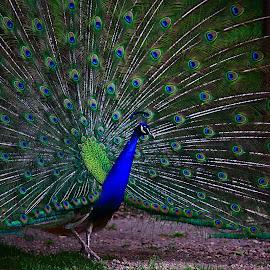Peacocking by Nicu Buculei - Animals Birds ( bird, colors, feathers, peacock )
