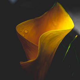 Beautiful Yellow Calla Lily by Ed Stines - Flowers Flower Gardens ( flowers, usa, nature, pollen, flower garden, petals, lilies, flower, wilson, nc, plants, yellow flowers, calla lily, lily, garden flowers, garden,  )