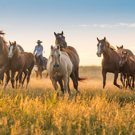 Running In by Erin Schwartzkopf - Animals Horses ( western life, horses, horse, cowgirl, wyoming life )