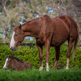 Guarding Her Young by Mandy Harvey - Animals Horses ( foals, horses, australia, baby, young, equestrian )