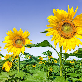 Waialua Sunflowers by Shari Linger - Instagram & Mobile iPhone ( waialua sunflower farm, sunflowers, tropical, flowers, oahu, hawaii )
