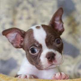Miss CoCo by Victoria Morgan-Brown - Animals - Dogs Puppies