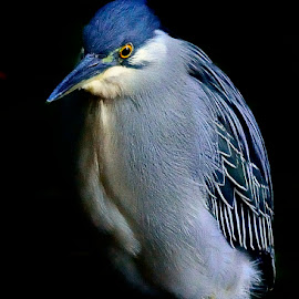 Striated heron up close by Francois Wolfaardt - Animals Birds ( bird, blue, mature, feathers, heron, close-up )