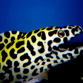 Spotted Moray Eel by Rick Luiten - Animals Sea Creatures