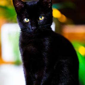 Minoù by Fabrizio Contadini - Animals - Cats Kittens ( love, lights, animals, cat, beautiful, kittens, black cat, black, portrait, eyes )