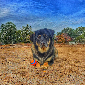 Margret by Louis Perlia - Animals - Dogs Portraits ( clouds, fence, sand, ball, sky, dogs, hdr, weather, trees, beach )