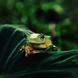 Kermit by Lay Sulaiman - Animals Amphibians