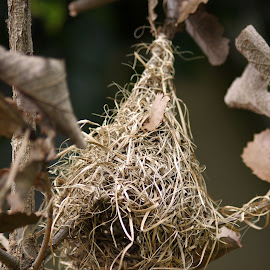 Weaver's Nest by Ingrid Anderson-Riley - Nature Up Close Hives & Nests