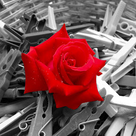 Red Rose by Arber Shkurti - Novices Only Flowers & Plants