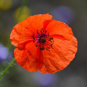 Lulekuqe by Olsi Belishta - Novices Only Flowers & Plants ( red flower, lulekuqe, albania )