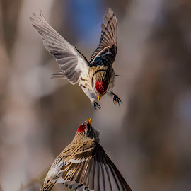 Redpolls in flight by Fred Jennings - Animals Birds ( arguing, fliying, redpolls )