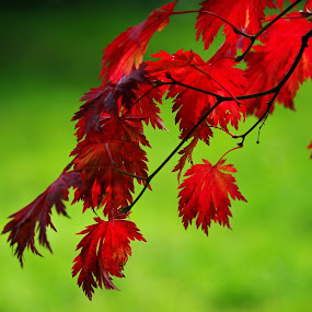 Autumn Acer Leaves by Ingrid Anderson-Riley - Nature Up Close Leaves & Grasses (  )
