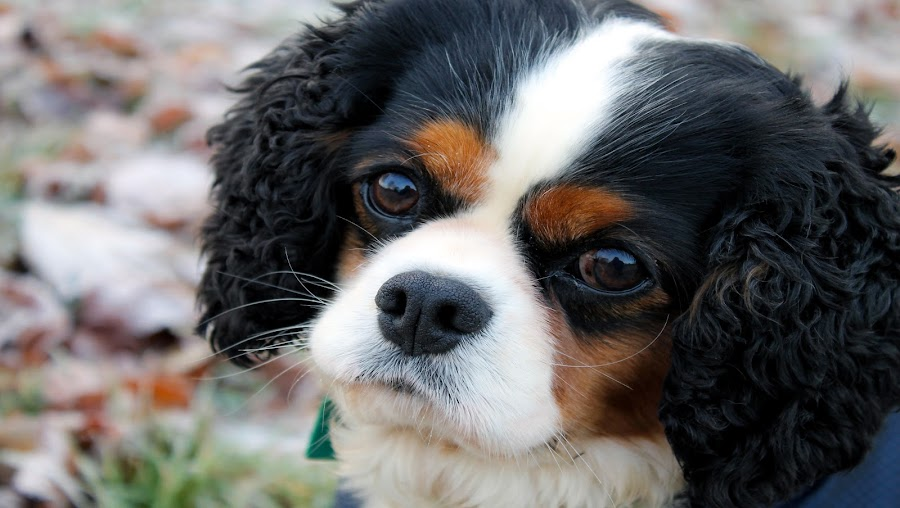 Kim by Tracey Dolan - Animals - Dogs Portraits ( kim, cavalier king charles, dog, park., portrait )