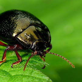 Leaf Beetle by Pat Somers - Animals Insects & Spiders