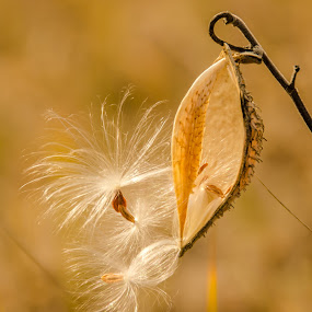 Last to Leave by Christopher Burnett - Nature Up Close Other plants ( wind, common milkweed, meadow, seeds, dispersal )